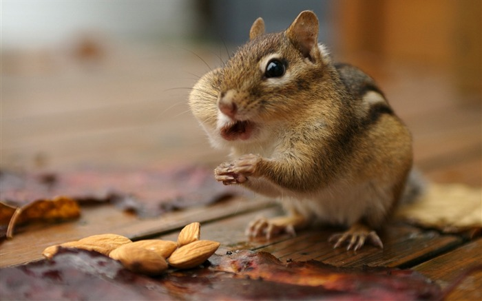 Greedy chipmunk eating almond - chipmunk pictures Views:0