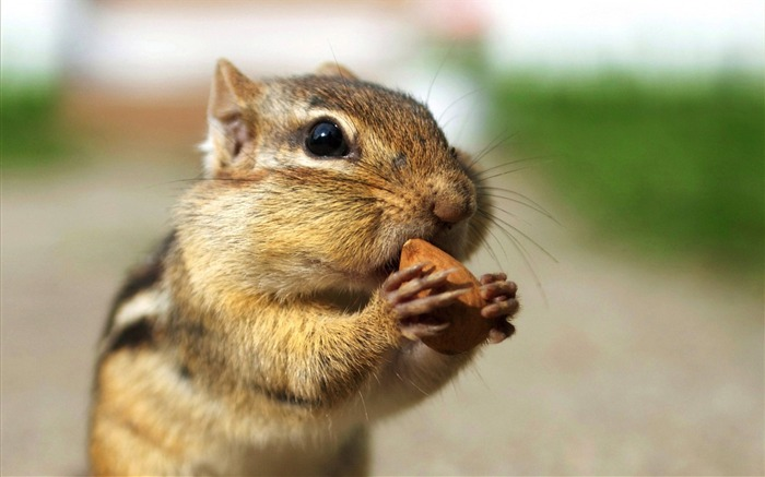 Greedy chipmunk eating almond - chipmunk pictures Views:9385