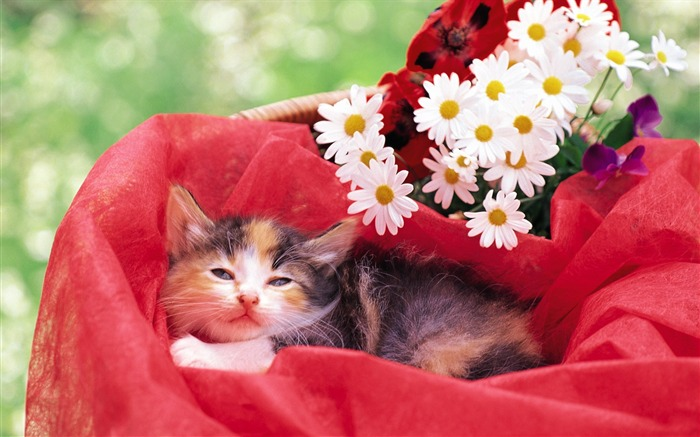 Little kitten Baby kitten in red flower basket Views:8960