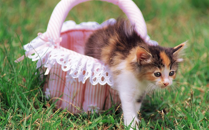 Little kitten Cuddly kitten in pink backet Views:5958