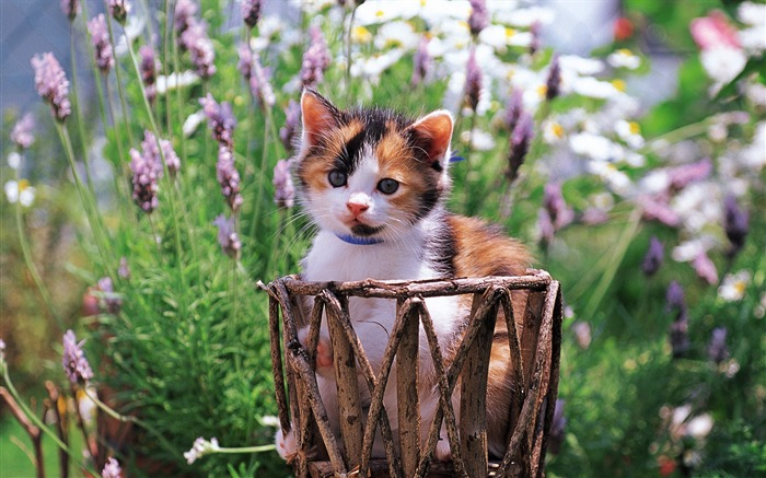 Little kitten in basket Lovely Kittens Wallpaper Views:5857