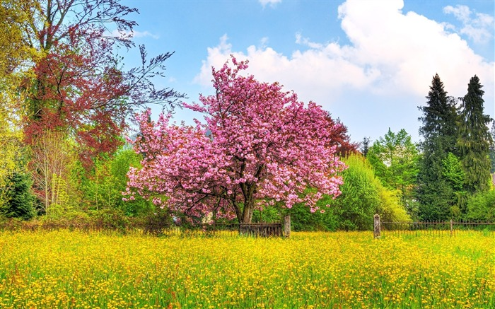 Photo Spring Colors - Japanese Cherry blossom Tree Views:29304