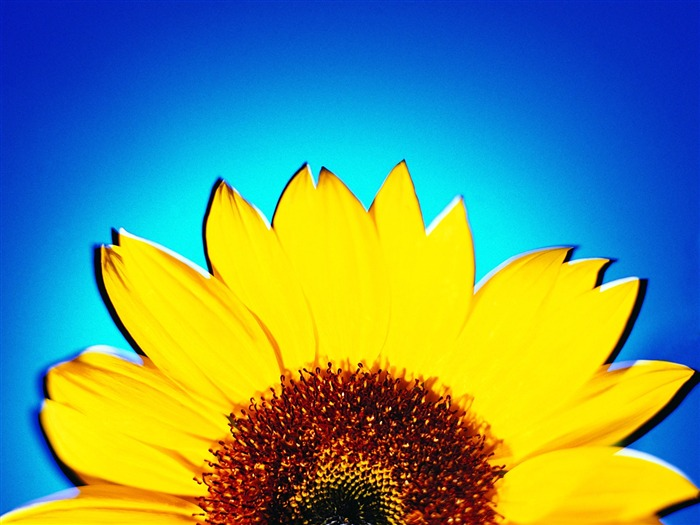 Sunflower - Summer Still Life Photography logo 01 Views:3740
