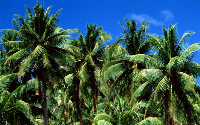 Tahiti lush palm leaf wallpaper Views:20330