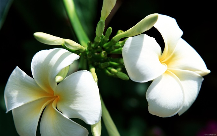 Tahiti plumeria wallpaper Views:6731