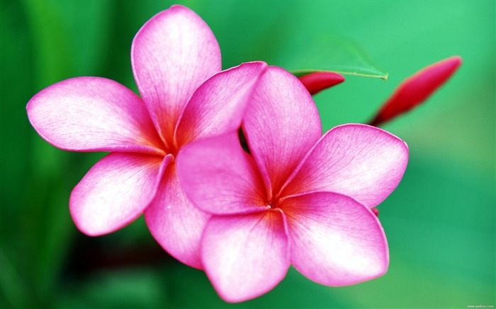 Tahitian gardenia red wallpaper Myanmar Views:11770