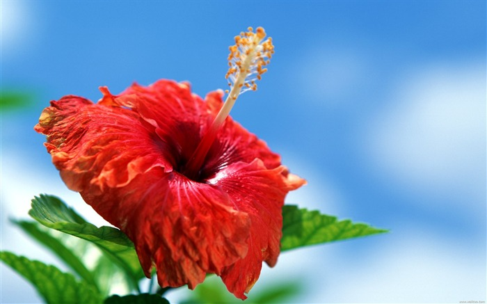 Tahitian red hibiscus wallpaper Views:18824