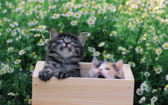 Two kittens in wooden box Views:4281