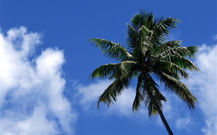 coconut trees under the blue sky wallpaper Views:8796