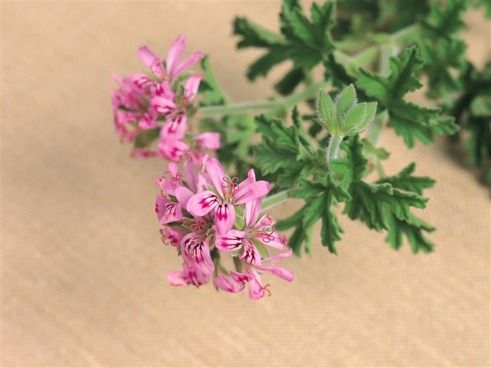herbaceous herb flowers wallpaper 01 Views:5138