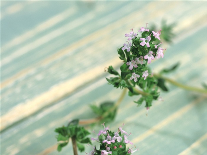 herbaceous herb flowers wallpaper 03 Views:4683