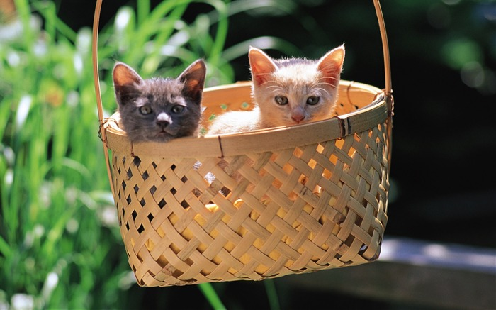 kitten Friendship Two little kittens in a hanging basket Views:5760