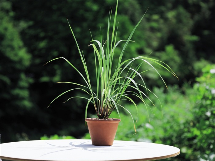 lemon grass plants - herbaceous picture Views:6075