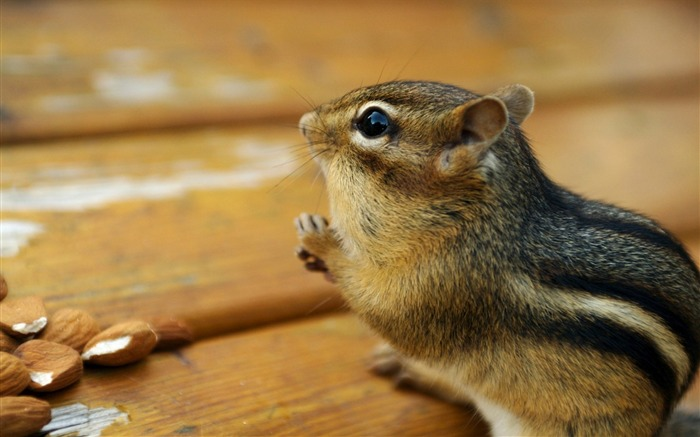 loveable Chipmunk Portrait - Chipmunk Wallpaper Views:4002