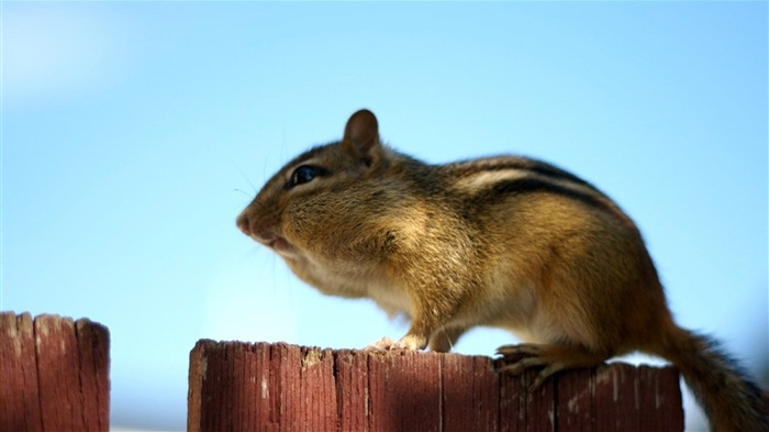 loveable Chipmunk Sunning - Chipmunk Wallpaper Views:1769