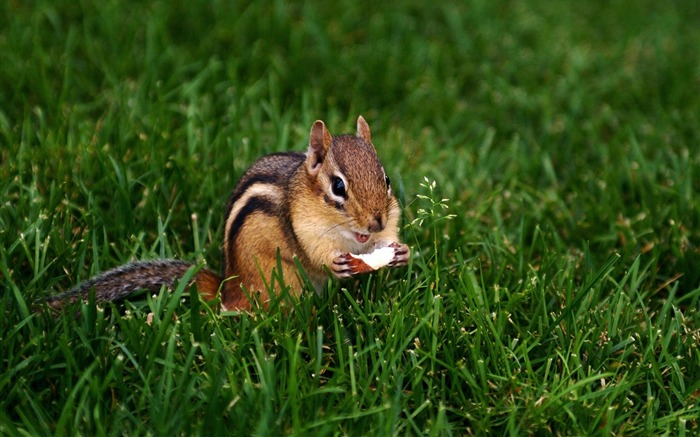 loveable Chipmunk eating nut - Chipmunk Wallpaper Views:5954