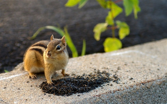 loveable Chipmunk in backyard - Chipmunk Wallpaper Views:5245