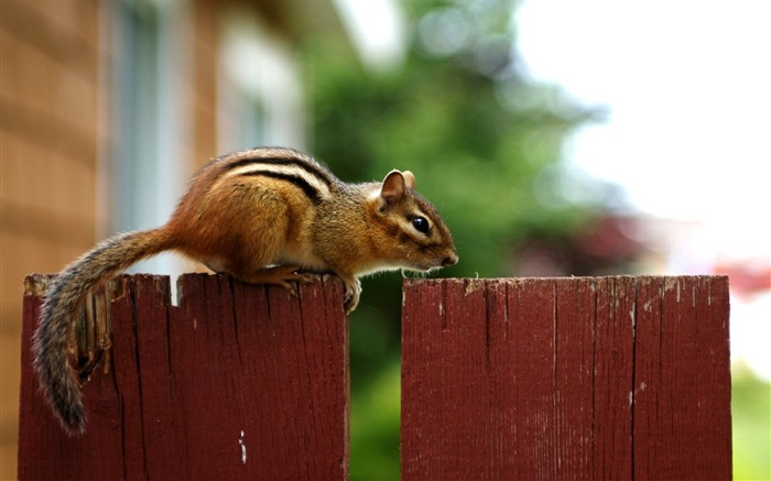 loveable Chipmunk on a Fence - Chipmunk Wallpaper Views:5278