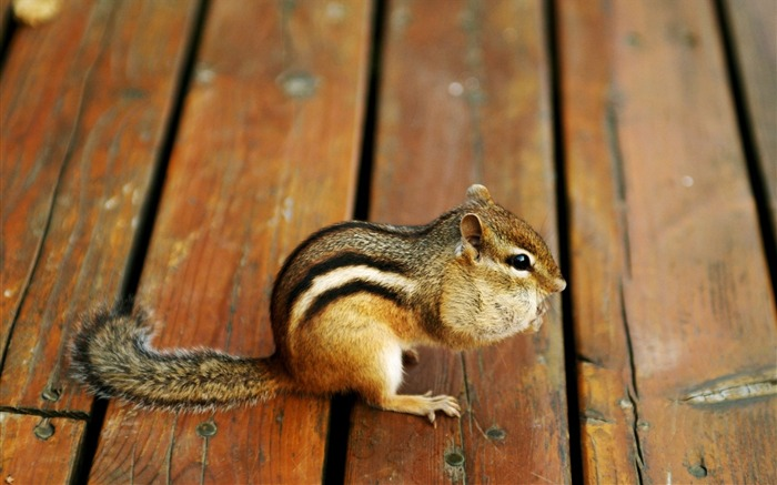 loveable chipmunk on floor - chipmunk photos Views:5925