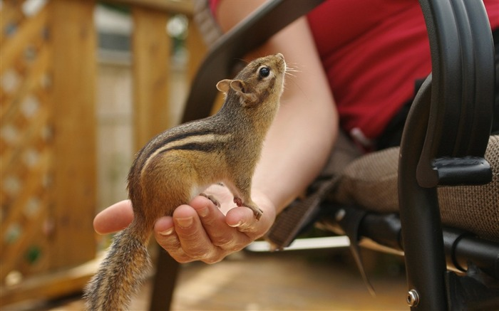 loveable chipmunk on my hand - chipmunk photos1 Views:3683