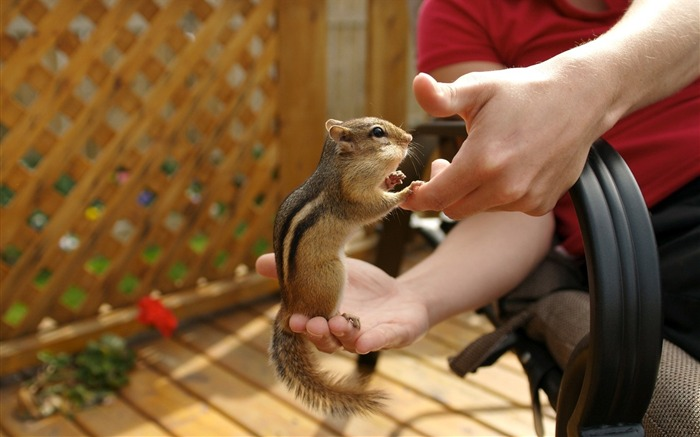 loveable chipmunk on my hand - chipmunk photos Views:3720