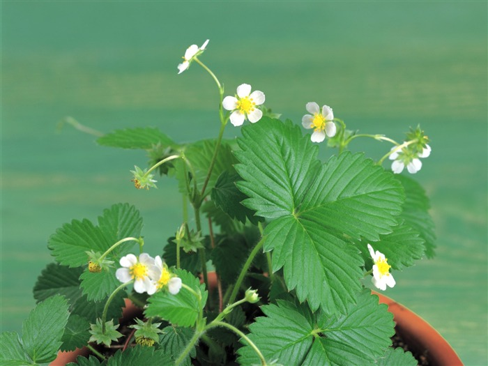 strawberry plants - herbs picture Views:5684