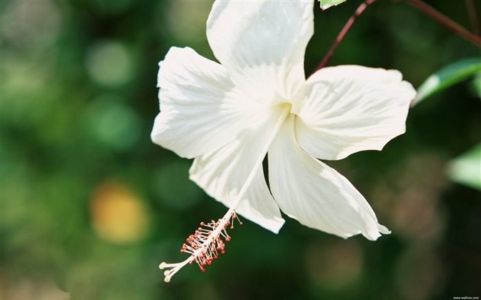 white hibiscus wallpaper Views:11899