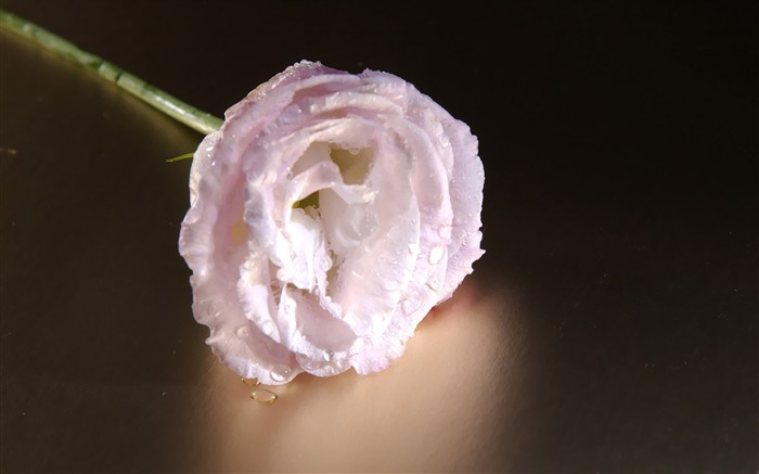 A White Rose Art Flower Photography Picture Views:9493