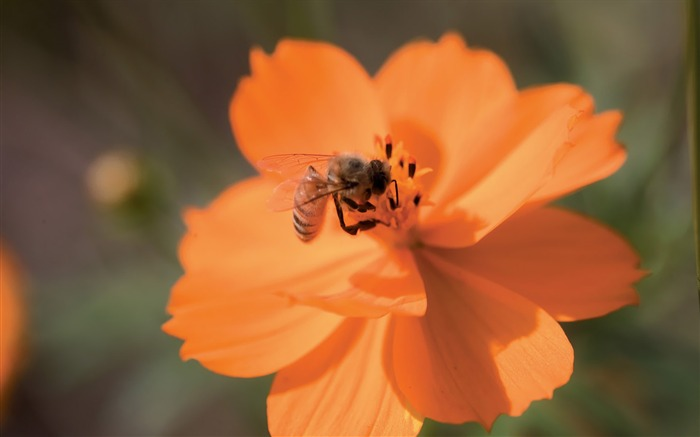 A bee on an orange flower Picture 06 Views:6764