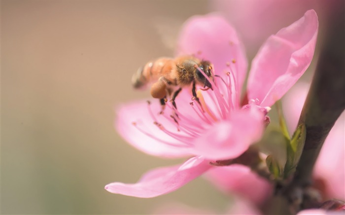 A bee on plum blossom Picture Views:9181