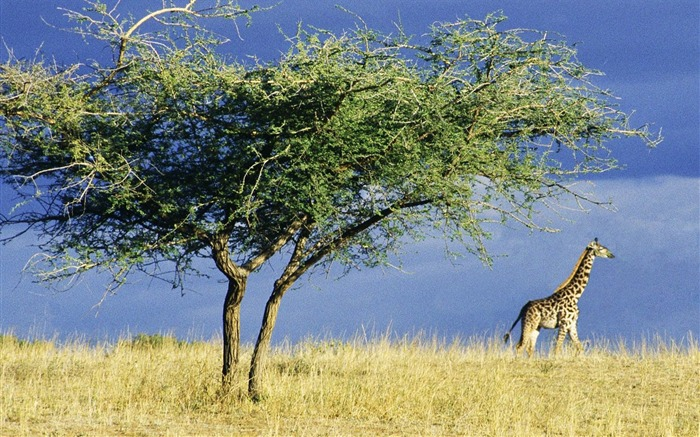 African grasslands giraffe wallpaper Views:19433