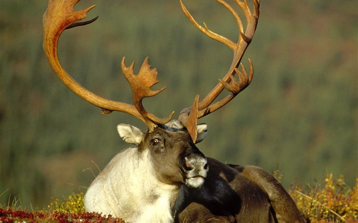 Alaska reindeer wallpaper Views:10514