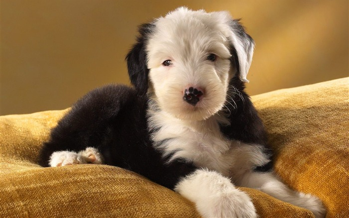 Ancient English Sheepdog Wallpaper Views:10744