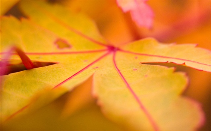 Autumn yellow leaves wallpaper Views:9952
