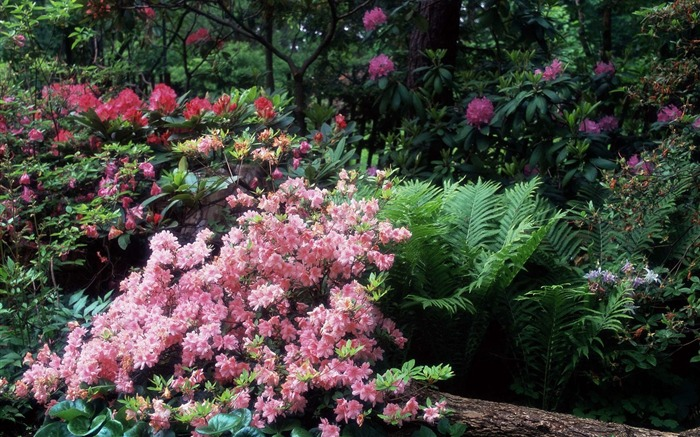 Azaleas and Rhododendrons wallpaper Views:5971