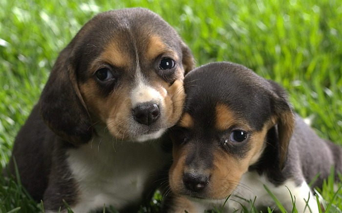 Beagle puppies wallpaper Views:12953