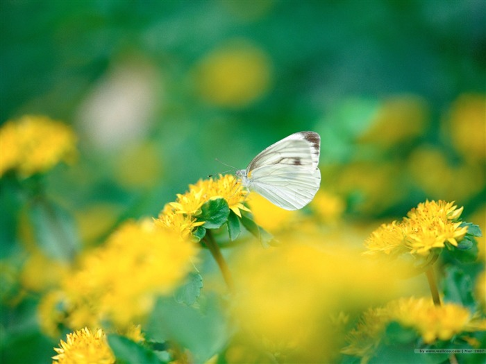 Beautiful Butterfly and Flowers Wallpeper Picture Views:6356