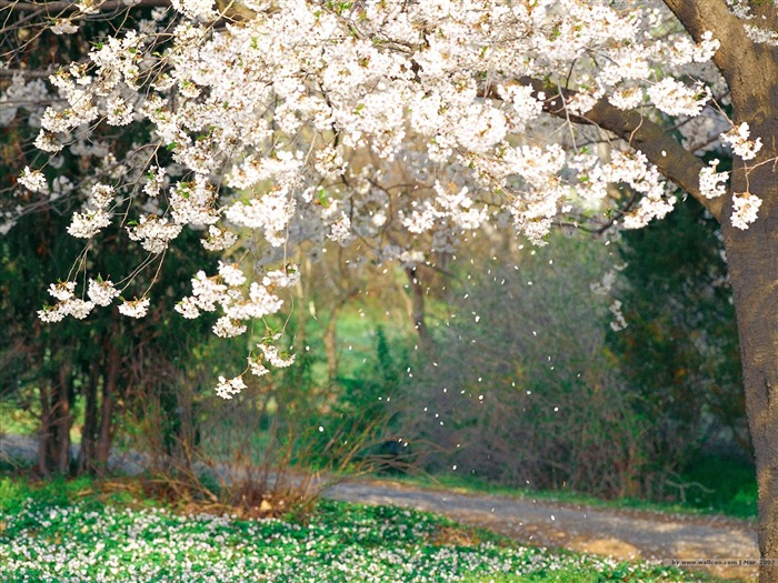 Beautiful Cherry Blossoms and Falling Petals Picture Views:11075