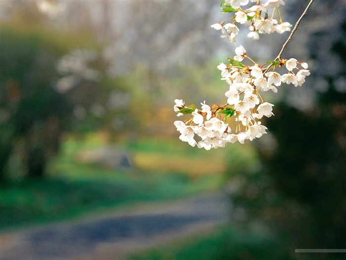Beautiful Cherry Blossoms in Spring Picture 01 Views:7867