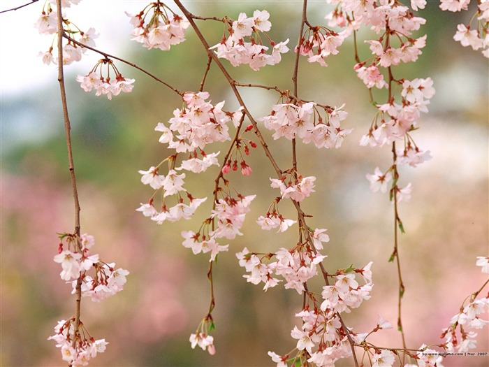 Beautiful Cherry Blossoms in Spring Picture 02 Views:7338