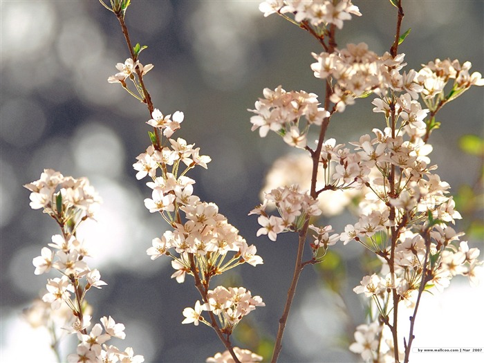 Beautiful Cherry Blossoms in Spring Picture 03 Views:4355