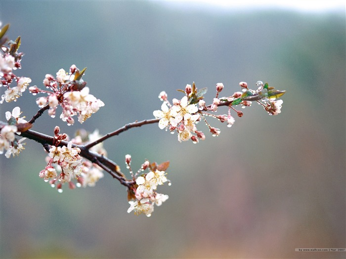 Beautiful Cherry Blossoms in Spring Picture 04 Views:4469