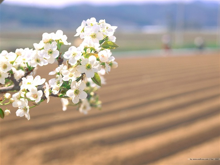 Beautiful Cherry Blossoms on Fram Picture Views:4912