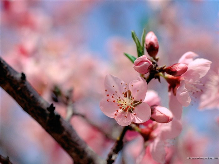 Beautiful Pink Peach Blossoms Picture Views:8733