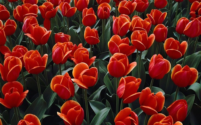 Bed of Red Tulips wallpaper Views:6825