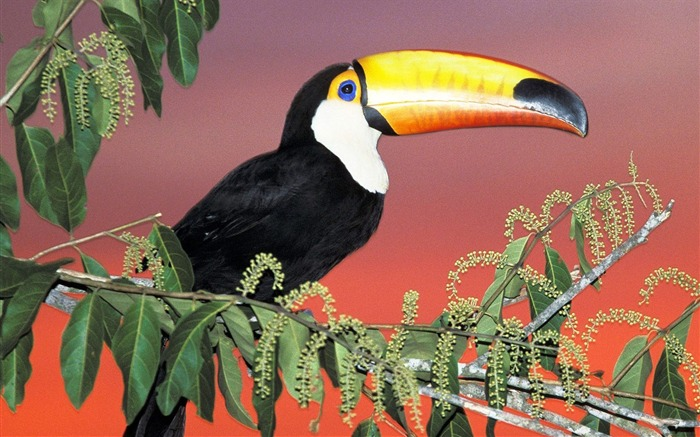 Brazil - Toco Toucan wallpaper Views:10647