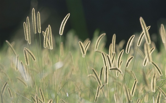 Bristle Grass wallpaper Views:22223