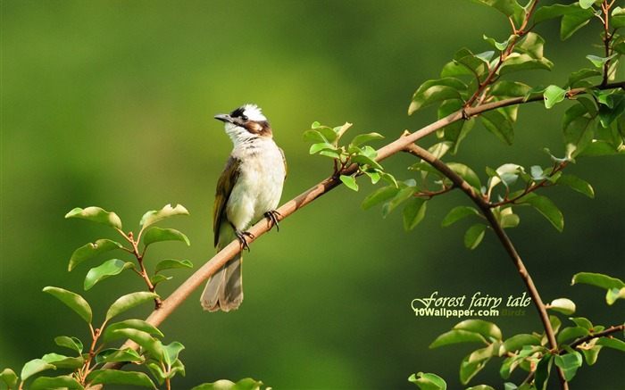 Bulbul-leafy branches birds wallpaper Views:9744