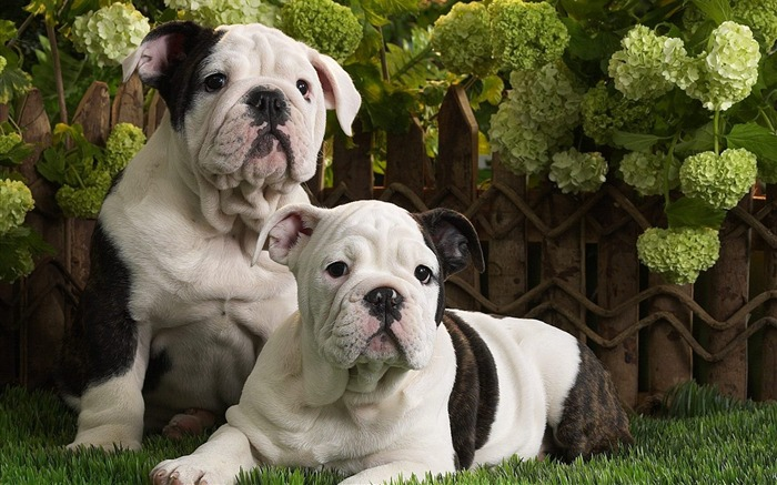 Bulldog puppy wallpaper Views:12165