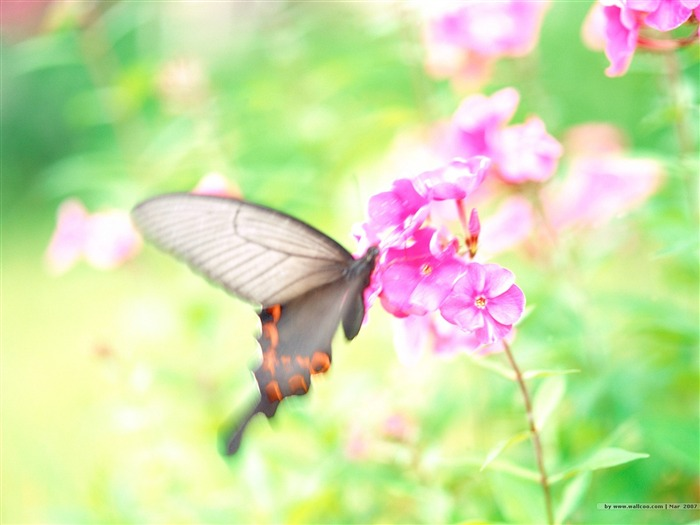 Butterfly on Pink Flowers Picture Views:5102